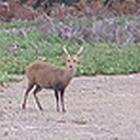 Hog Deer in Kangaroo habitat
