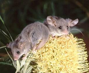 Pygmy Possums